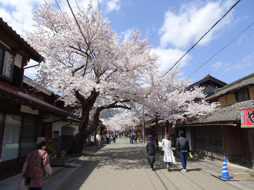 岡山県新庄村・がいせん桜