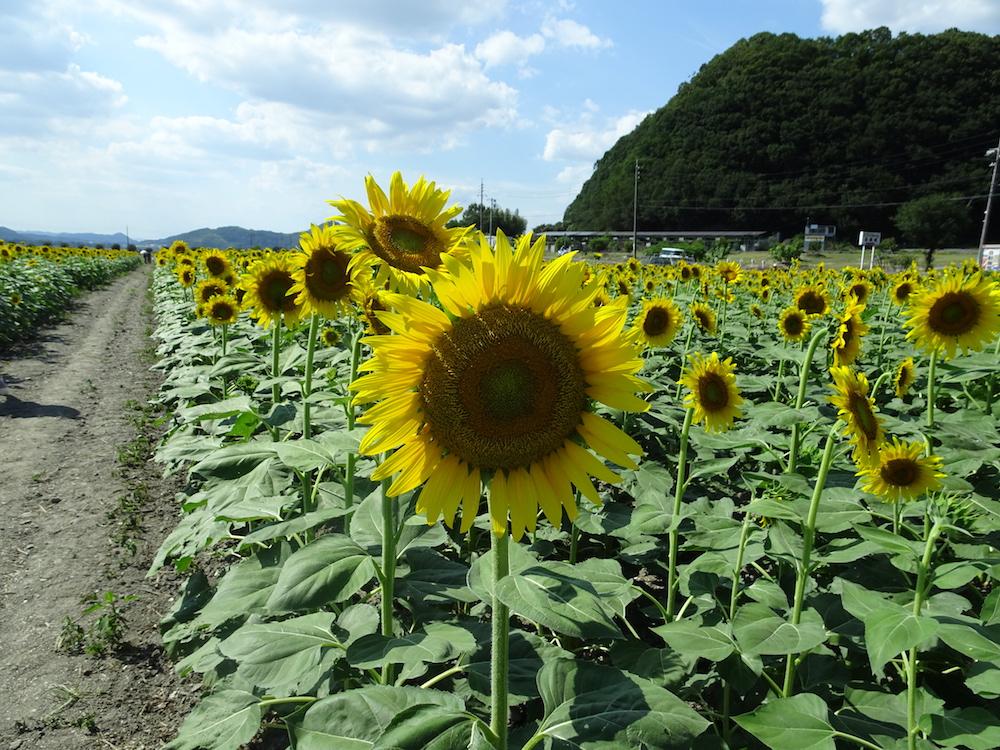 笠岡ベイファーム ひまわり畑