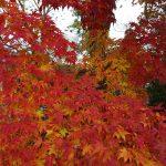 宝福寺で紅葉狩り